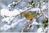 Korean Bird06 - Oriental Turtle Dove - Eating fruits on Snow Tree