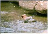 Korean Bird - Bohemian Waxwing flapping in water (황여새)