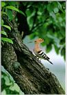 Korean Bird 22-Hoopoe-On old tree trunk (후투티)