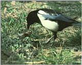 Korean Bird: Black-billed Magpie J05 - eating mouse carrion