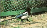 Korean Bird: Black-billed Magpie J06 - walking on the ground