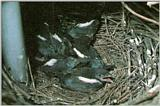 Korean Bird: Black-billed Magpie J07 - Spring - chicks in nest