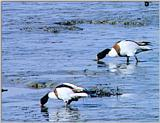Korean Bird: Common Shelduck J01 - foraing on mud flat