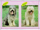 Korean Dog - Sapsari J04 - Comparison of blue breed and golden breed