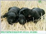Korean Dog - Sapsari J05 - Blue Breed Puppies