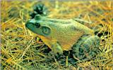 Korean Fauna: Bullfrog J01 - On grass