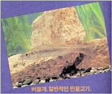 Korean Fish: Amur Minnow J01 (버들개)
