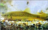 Korean Fish: Chinese Minnow J01 - closeup (Moroco oxycephalus; 버들치)