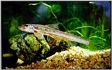 Korean Fish: Lizard Minnow J01 - closeup (두우쟁이)