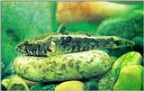 Korean Fresh Water Fish: Korean Spotted Sleeper - Odontobutis interrupta - 얼룩동사리