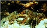 ...Korean Freshwater Crayfish J02 - Juveniles fighting - Cambaroides similis (참가재 / Korean Fresh Wa