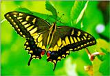 Common Swallowtail Butterfly (산호랑나비)