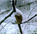 Korean Insect: Mantis J01-Egg pouch on snow branch