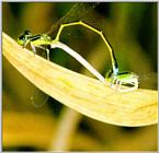 Korean Insect: Asian Damselfly J02-mating pair - small, cleaned version