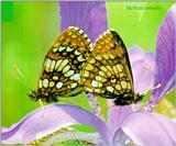 Korean Insect: Heath Fritillary Butterfly J01-mating on flower (어리표범나비)