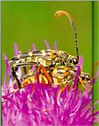 Korean Insect: Four-banded Long-horned Beetle (Leptura ochraceofasciata) - 넉줄꽃하늘소 - mating