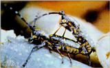 Korean Insect: Yellow-spotted Long-horned Beetle J01 - mating pair - Psacothea hilaris - 울도하늘소