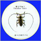 Korean Insect: Yellow-spotted Long-horned Beetle J03-specimen - Psacothea hilaris - 울도하늘소