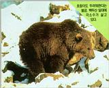 Korean Mammal - Brown Bear (불곰)