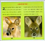 Korean Mammal: Chinese Water Deer J06 - Female and male