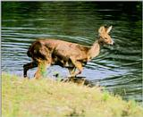 Korean Mammal: Chinese Water Deer J07 - in water side