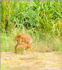 Korean Mammal: Chinese Water Deer J09 - Scratches legs