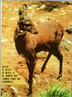 Korean Mammal - Musk Deer (1/1)