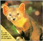 Endangered Korean Mammal - Sable Marten