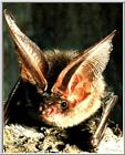 Korean Mammal - Brown long-eared bat (토끼박쥐)