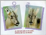 Korean Mammal - Manchurian Goral J02 - Comparison of male and female