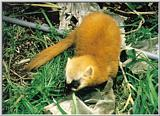 Korean Mammal - Japanese Marten