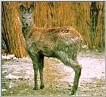 Korean musk deer
