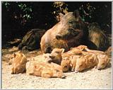 Korean Wild Boars - 멧돼지 Sus scrofa coreanus (Wild Boar)