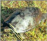 Chinese Three-keeled Pond Turtle (남생이)
