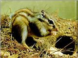 Korean Rodent - Siberian Chipmunk J02 - in front of den