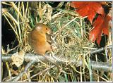 Korean Rodent - Eurasian Harvest Mouse (멧밭쥐)