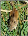 Black-striped Field Mouse (등줄쥐)