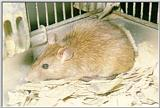 House Rat (Rattus rattus)