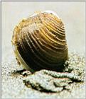 Asiatic Greater Freshwater Clam (Corbicula leana) - 참재첩