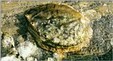 Giant Abalone (Shell) - Korean Shell-Giant Abalone J01-closeup.jpg (말전복)