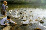 Korean Water Fowl-Swan Goose J05-Flock in pond