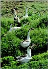 Korean WaterFowl-Swan Goose J09-Flock in grass bush