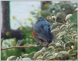 바다직박구리 Monticola solitarius philippensis (Blue Rock Thrush)