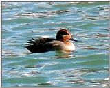 Common Teal from Korea 3