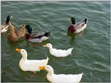 Mallard Ducks and Domestic Ducks 05