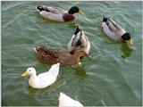 Mallard Ducks and Domestic Ducks 06