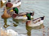 Mallard Ducks and Domestic Ducks 08