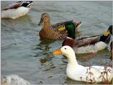 Mallard Ducks and Domestic Ducks 09