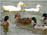 Mallard Ducks and Domestic Ducks 10