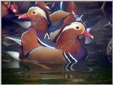 Mandarin Ducks (1/20) -- 원앙